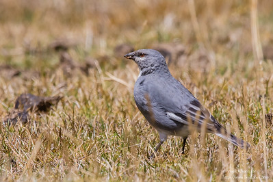 White-winged Diuca-Finch - Record - Highlands above Ollantaytambo, Peru