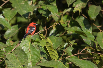 White-winged Tanager - Mashpi, Ecuador
