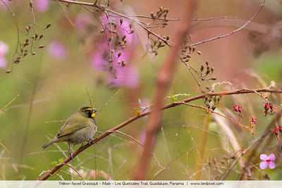 Yellow-faced Grassquit - Male - Los Quetzales Trail, Guadalupe, Panama