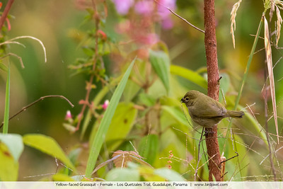 Yellow-faced Grassquit - Female - Los Quetzales Trail, Guadalupe, Panama