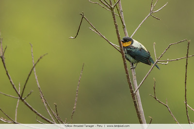 Yellow-throated Tanager - Peru
