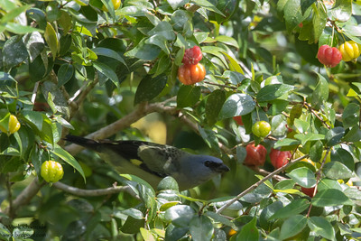 Yellow-winged Tanager - Hidden Valley, Belize