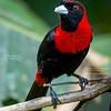 Crimson-collared Tanager