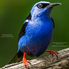 Orange-legged Honeycreeper