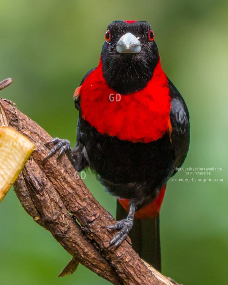 Crimson-collared Tananger