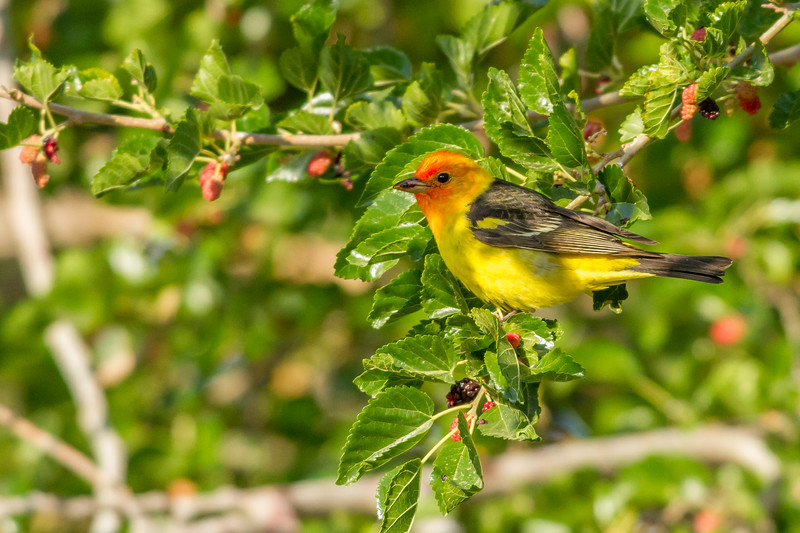 Western Tanager, Green Valley, Arizona