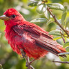 Summer Tanager, Packery Channel, Corpus Christi, Texas