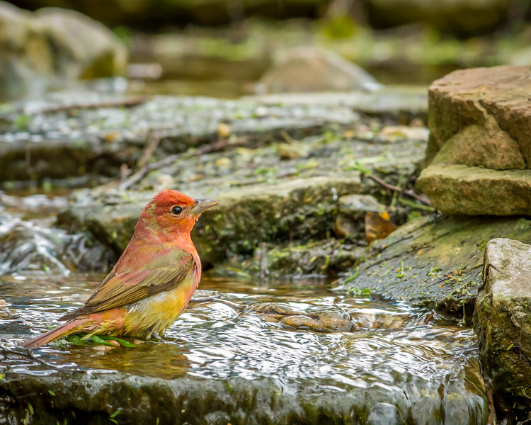 Summer Tanager, South Padre Island Convention Center, Texas