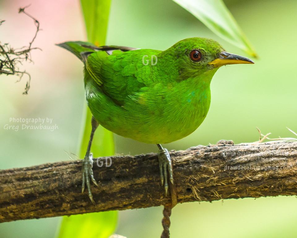 Female Green Honeycreeper