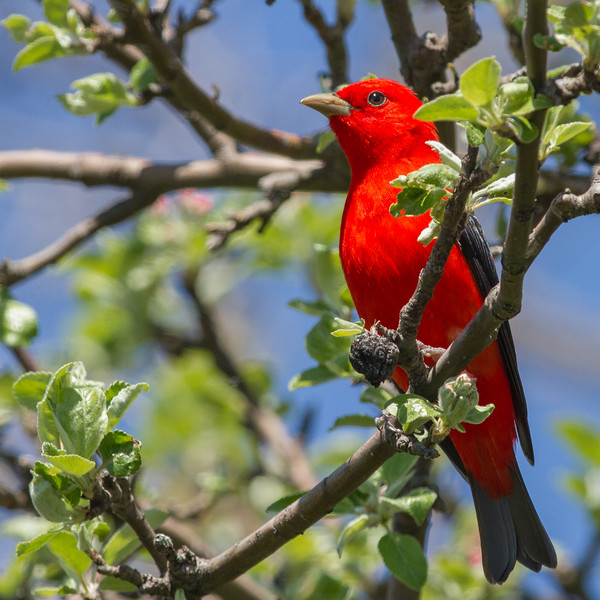 Scarlet Tanager, Prince Edward County, Ontario