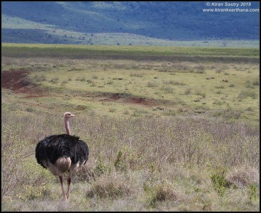Ostrich, Ngorongoro Crater, Ngorongoro Conservation Area, Tanzania, November 2019