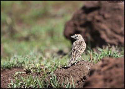 Rufous Naped Lark, Ngorongoro Crater, Ngorongoro Conservation Area, Tanzania, November 2019
