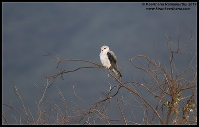 Black Winged Kite, Ngorongoro Crater, Ngorongoro Conservation Area, Tanzania, November 2019