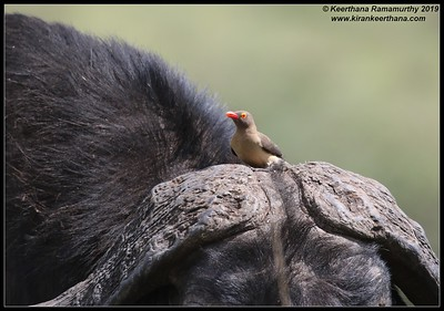 Red-billed Oxpecker on African cape buffalo, Ngorongoro Crater, Ngorongoro Conservation Area, Tanzania, November 2019