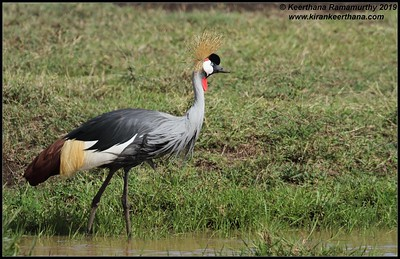 Grey Crowned Crane, Ngorongoro Crater, Ngorongoro Conservation Area, Tanzania, November 2019