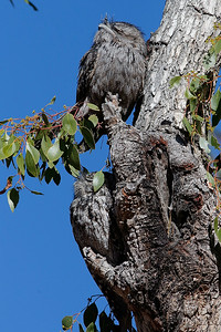 Tawny Frogmouth Pair