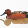 Cinnamon Teal Male