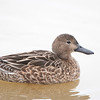 Cinnamon Teal Female
