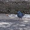 Tenerife blue chaffinch