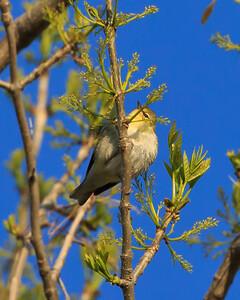 Tennessee warbler