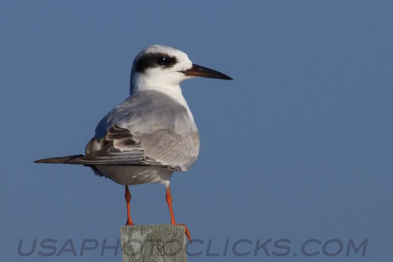 Foster's Tern (b2401)