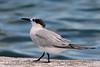 Sandwish Tern (b2002)