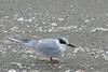 Foster's Tern (b2403)