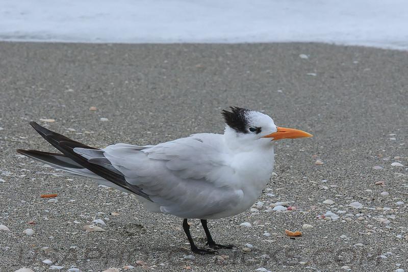 Royal Tern (b2423)