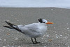 Royal Tern (b2423)