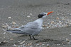 Royal Tern (b2422)