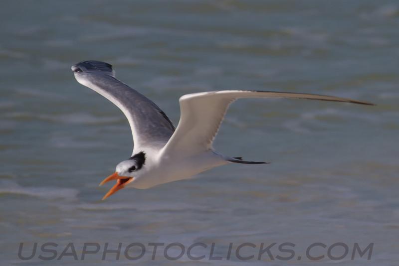 Royal Tern (b2421)