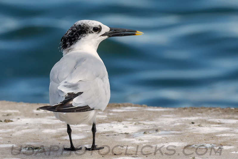 Sandwish Tern (b2001)
