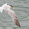 Elegant Tern in Flight with Fish