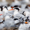 Elegant Tern in Flock