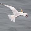 Elegant Tern Shaking