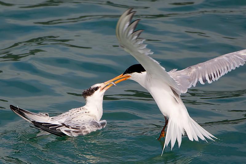 Elegant Tern Adult Feeding a Fish to Juvenile