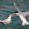 Elegant Tern Adult Feeding a Fish to Juvenile