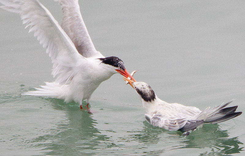 Elegant Tern Feeding Juvenile
