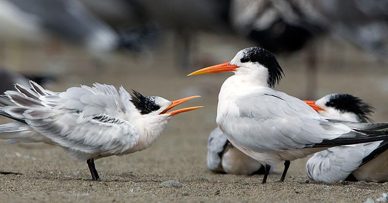 Elegant Terns Adult and Juvenile