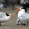 Elegant Terns Adult and Juvenile