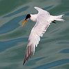 Elegant Tern & Interesting Water Pattern