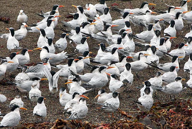 Flock of Elegant Terns