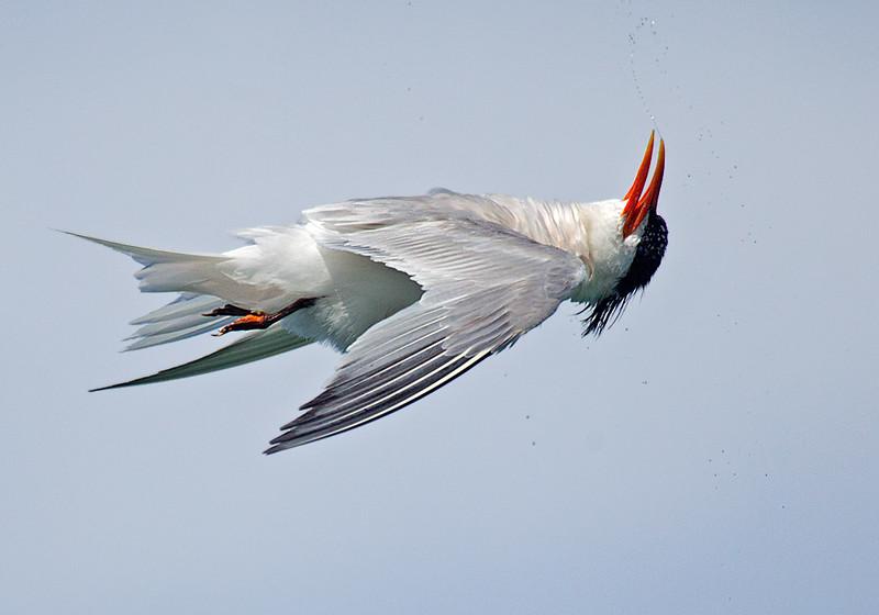 Elegant Tern Flying Upside Down