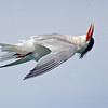 Elegant Tern Flying Upside Down