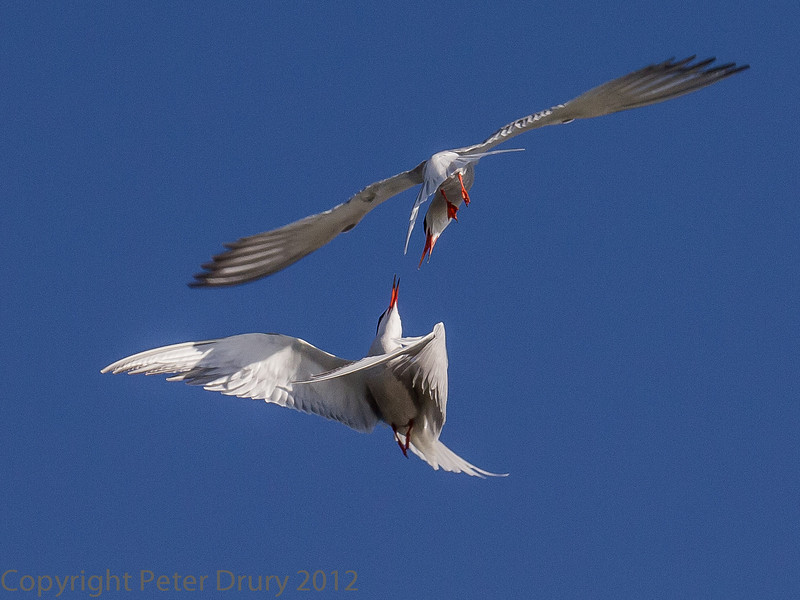 One male Common Tern arrives back at the colony on the island with food to tempt a female. Another, rival, male takes exception and this aerial battle takes place
