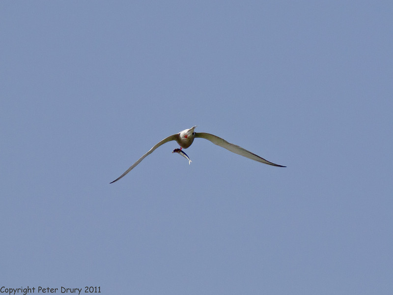25 April 2011. Common Tern at the Oysterbeds. Copyright Peter Drury 2011