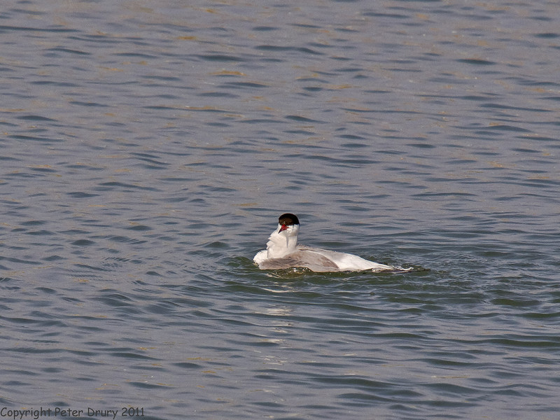04 July 2011. Common Tern at the Oysterbeds. Bathing in the lagoon. Copyright Peter Drury 2011