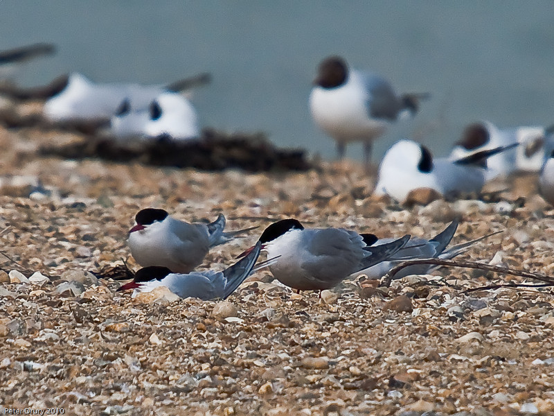 Common Tern (Sterna hirundo). Copyright Peter Drury 2010<br /> Two pairs of Common Tern. The females are in their nest scrapes and the males are standing alongside.