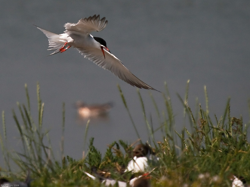Common Tern. Copyright 2009 Peter Drury<br /> Returning to the nesting site.<br /> The old oyster beds, Langstone Harbour, Hayling Island.