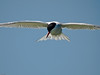 Common Tern (Sterna hirundo). Copyright Peter Drury 2010
